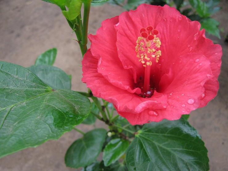 Гибискус или «Китайская роза» – это растение, приносящее страсть одиноким людям и семейным парам.