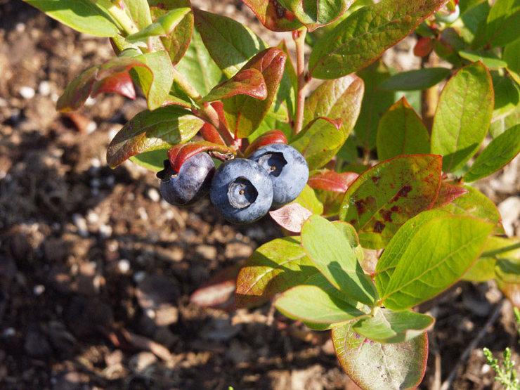 Своевременные и правильно подобранные подкормки значительно повышают урожайность плодов и улучшают вкусовые качества ягод голубики