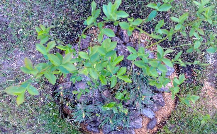 Правила посадки садовой голубики
