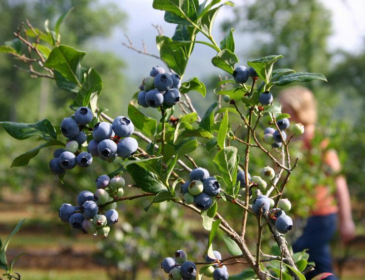 Голубика садовая – ее виды и особенности выращивания