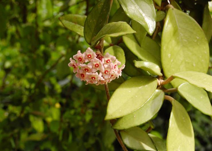 Хойя или «восковой плющ» – это азиатский цветущий кустарник с множеством шарообразных соцветий.