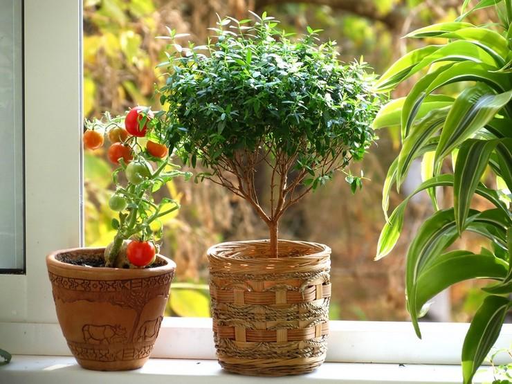 Мирт душистый – это цветущее комнатное кустарниковое растение, которое рекомендуется дарить на свадьбу молодоженам.