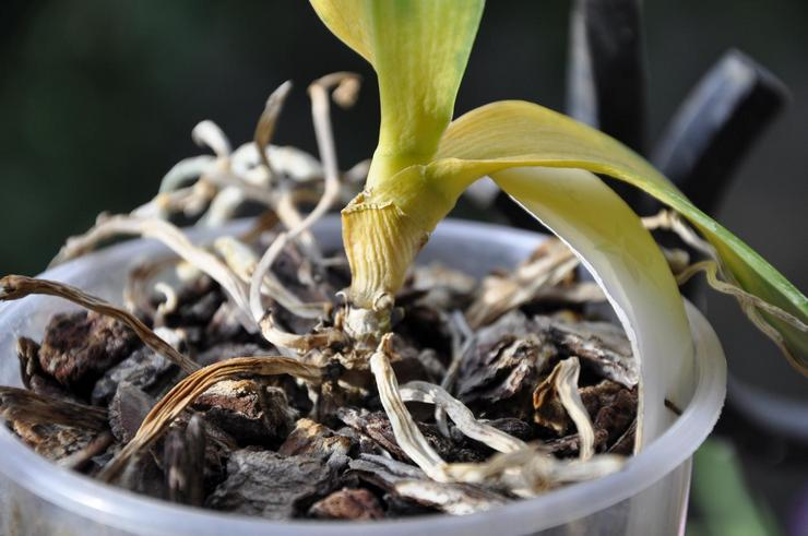 Проблемы и трудности при уходе за орхидеями