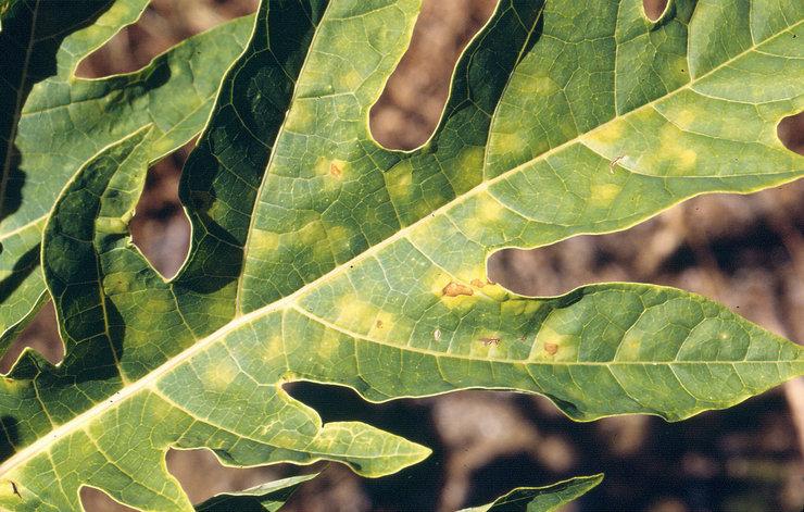 Основной и наиболее частый вредитель папайи – паутинный клещ