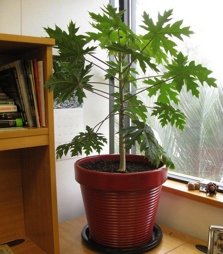 Уход за папайей в домашних условиях