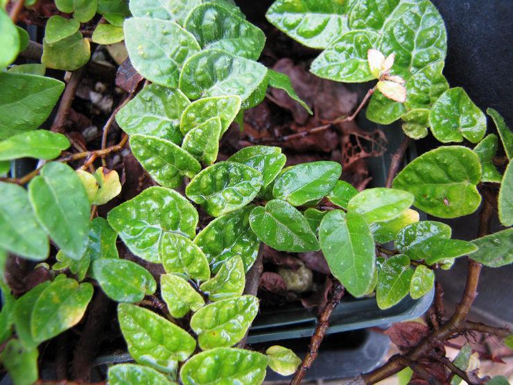 Почва для должна быть нейтральная по составу со всеми питательными элементами, которые необходимы комнатным цветам