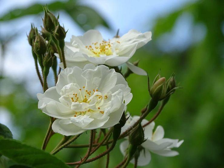 Плетистая роза Бобби Джеймс