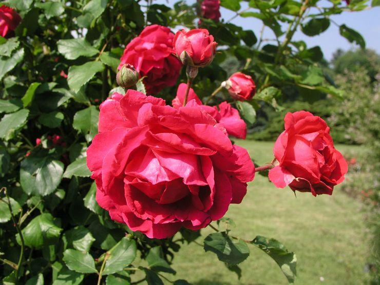 Плетистая роза клаймбер