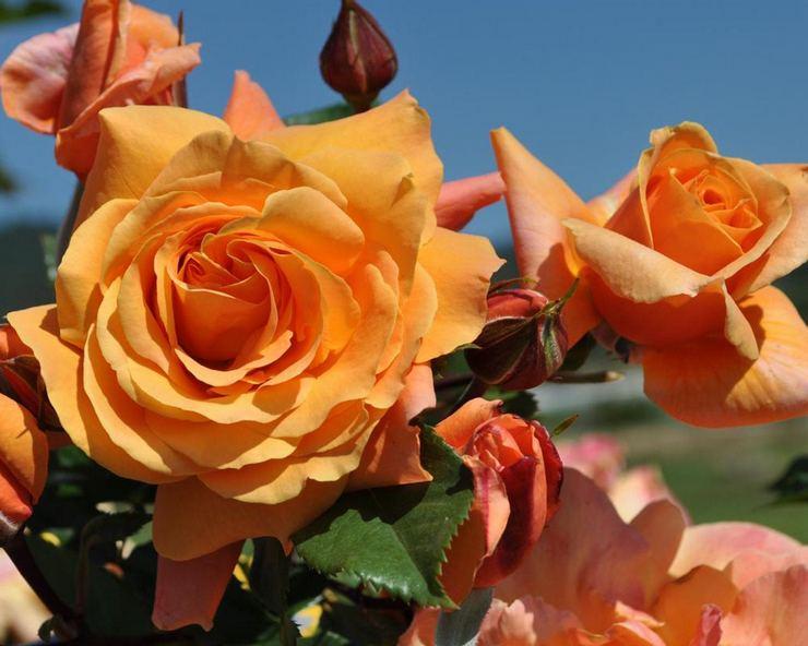Плетистая роза клайминг