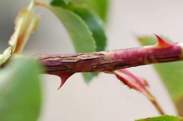 Кониотириум плетистых роз