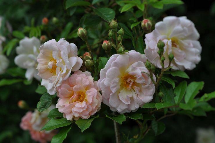 Плетистая роза рамблер