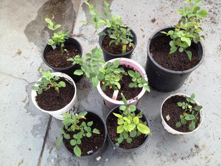 Выращивание плетистых роз из семян