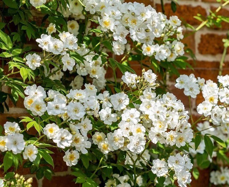 Плетистая роза Рамблинг Ректор