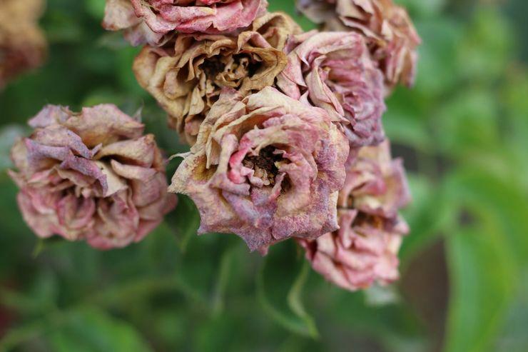 Серая гниль плетистых роз