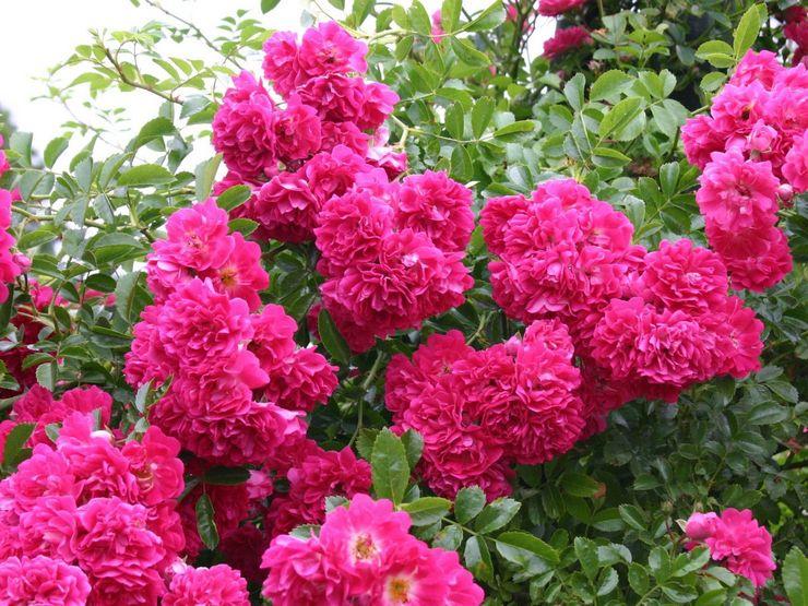 Плетистая роза Супер Эксцельза