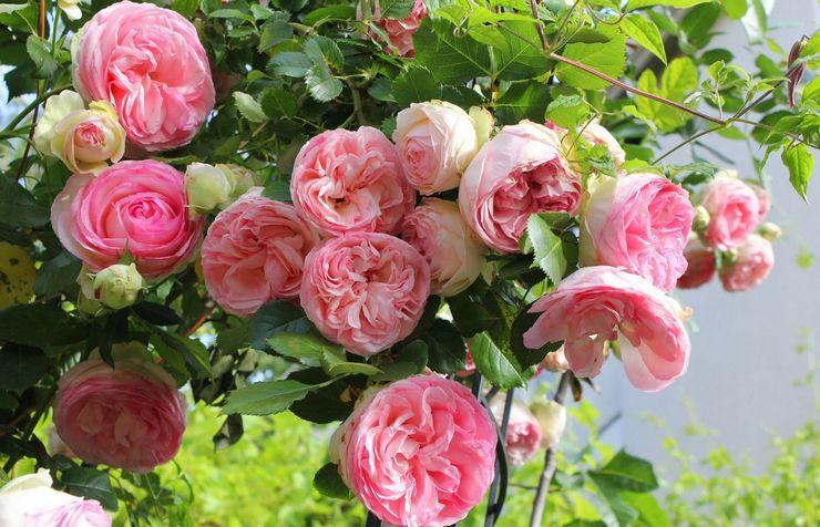 Уход за плетистыми розами