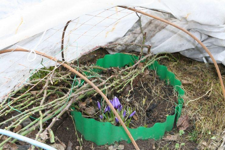 Укрытие плетистых роз на зиму