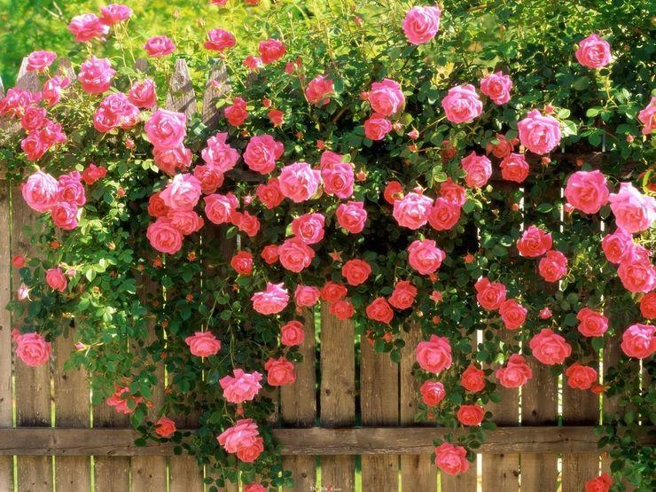 Плетистая роза – посадка и уход в открытом грунте. Выращивание плетистой розы, способы размножения. Описание. Фото