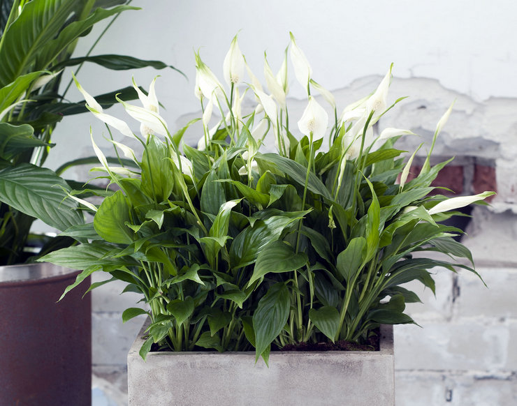 Спатифиллум – это самый популярный цветок, который приносит в дом счастье, а точнее женское счастье.