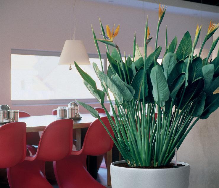 В комнатных условиях стрелиции необходимо выделить просторное место выращивания