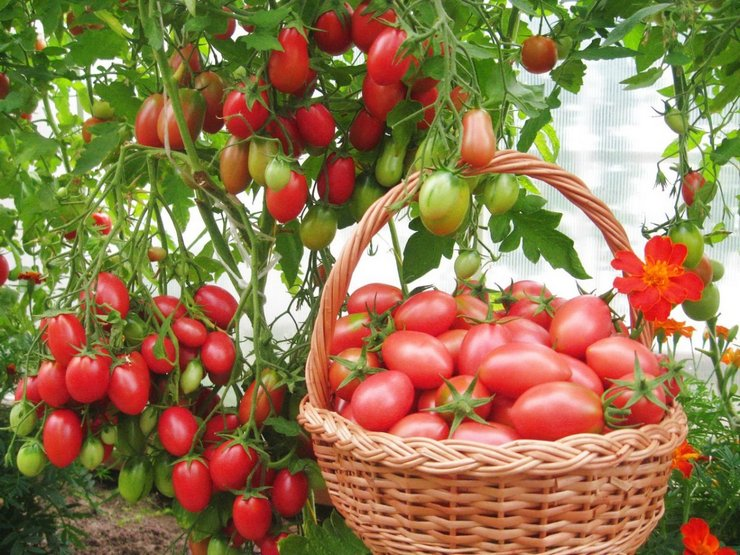 Плоды должны обладать способностью к транспортировке и, по возможности, наиболее продолжительному хранению.
