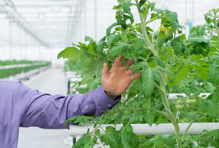 Для содержания в теплице больше подходят индетерминантные (т.е. неограниченные по росту стебля) сорта томатов.