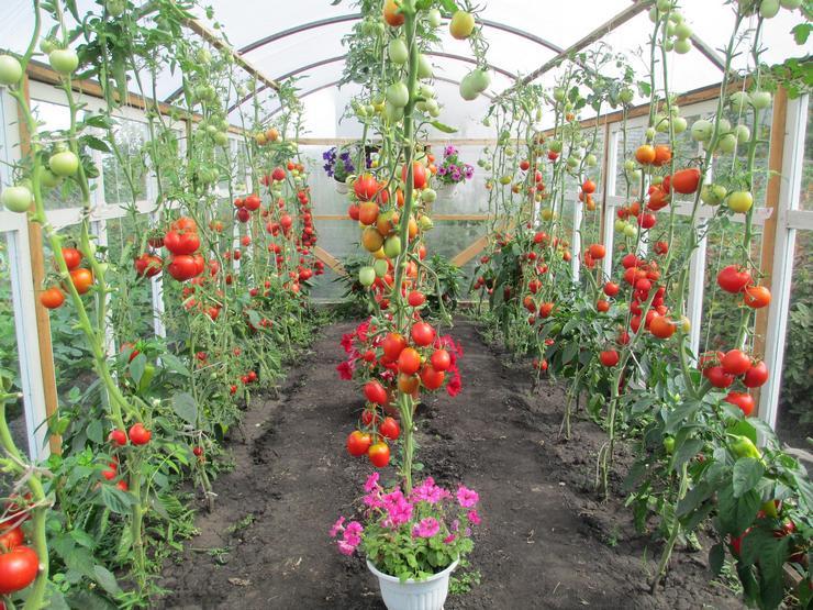 Выращивание томатов в летних теплицах