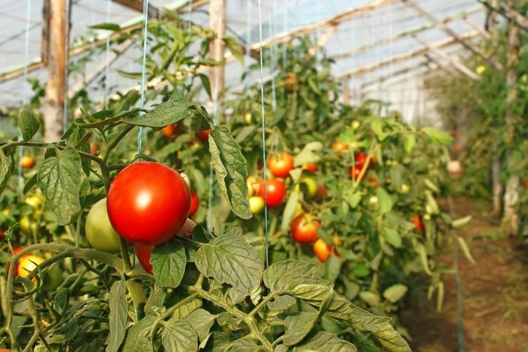 Зимние сорта помидор для теплиц