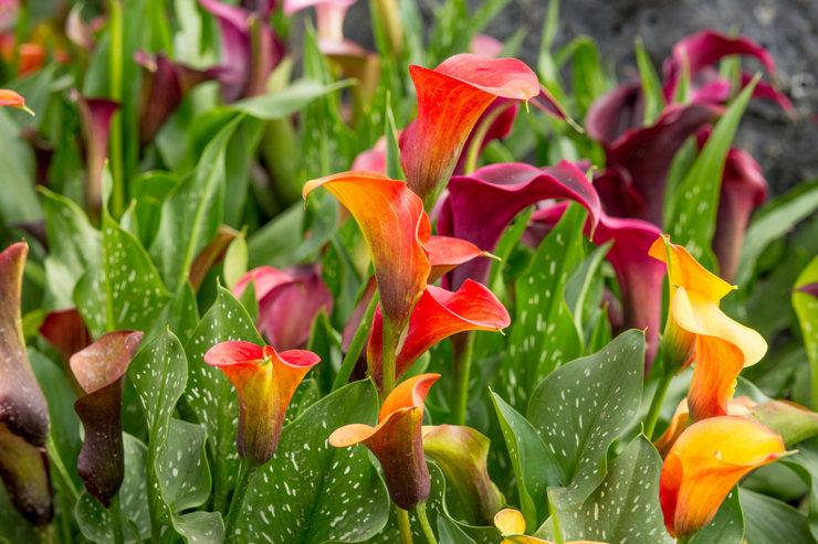 Садовые каллы – посадка и уход в открытом грунте. Выращивание цветка каллы в саду, способы размножения. Описание. Фото