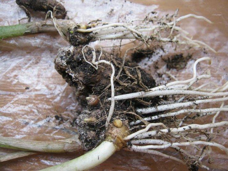 С приходом первого осеннего месяца необходимо начать подготовку клубней каллы к зимнему периоду и зимовке