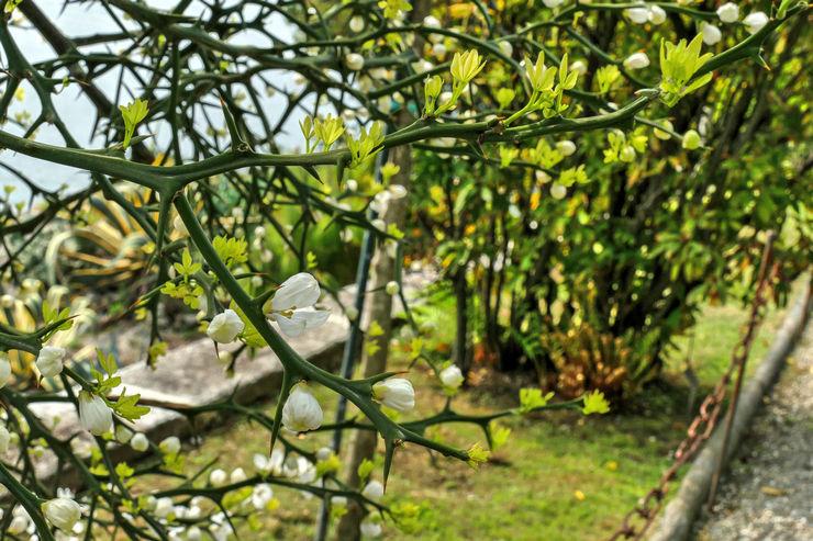 Трифолиата выглядит как небольшой многоствольный кустарник с шатровидной кроной и сплюснутыми ветвями с большими колючками.