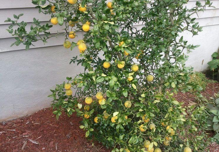 Правила выращивания и ухода за понцирусом