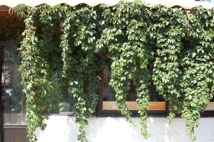 Вьющиеся растения для дачи