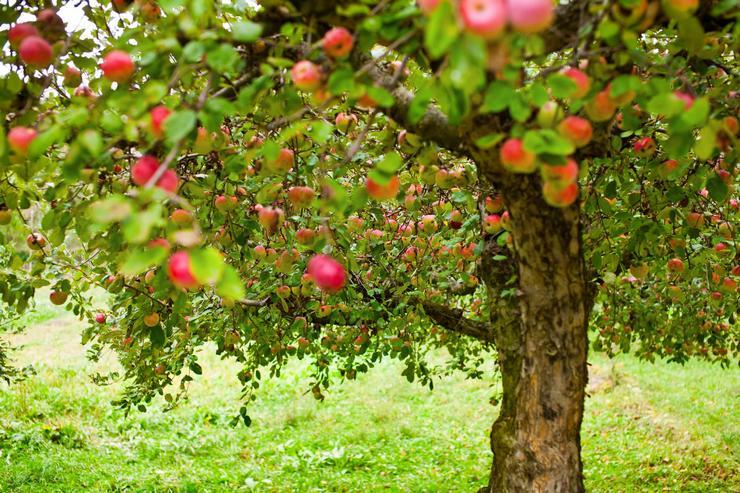 Поливы яблони проводятся весь летний и осенний сезон.