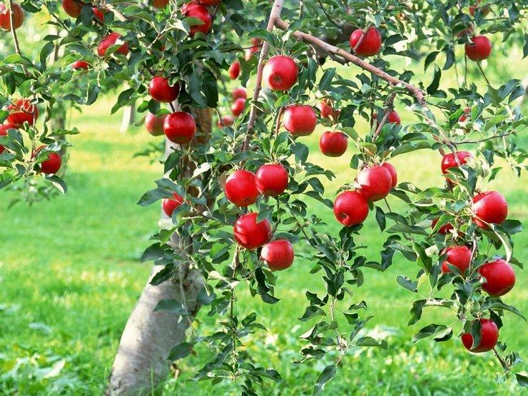 Как ухаживать за яблоней. Правила выращивания и ухода за яблоней в саду