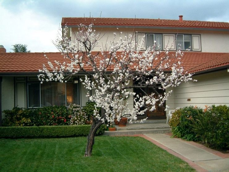 Не рекомендуется выращивать абрикос на участке, который подвергается сквознякам и резким порывам ветра