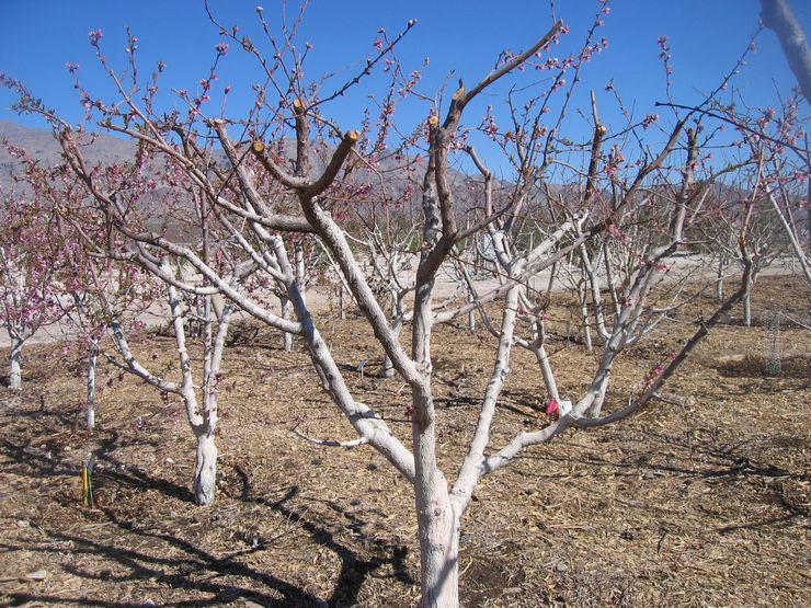 Качественный и обильный урожай абрикоса зависит от своевременной и регулярной обрезки молодых побегов