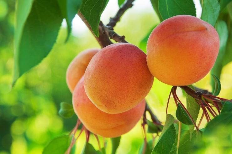 Почему не плодоносит абрикос? Основные причины и пути решения