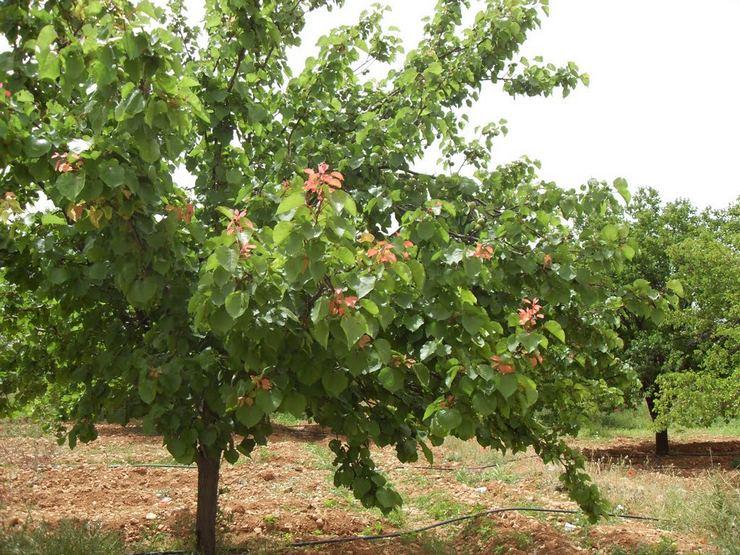 Основные причины, почему абрикос не плодоносит