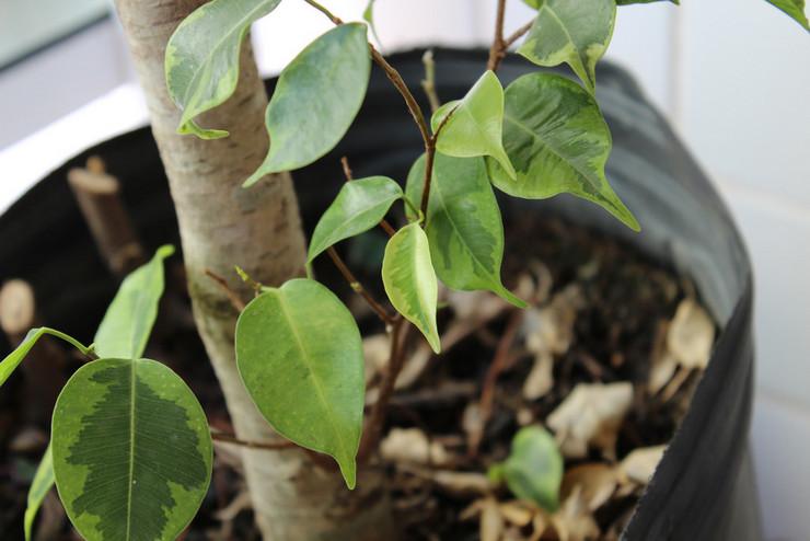 Основные причины, почему у фикуса Бенджамина опадают листья