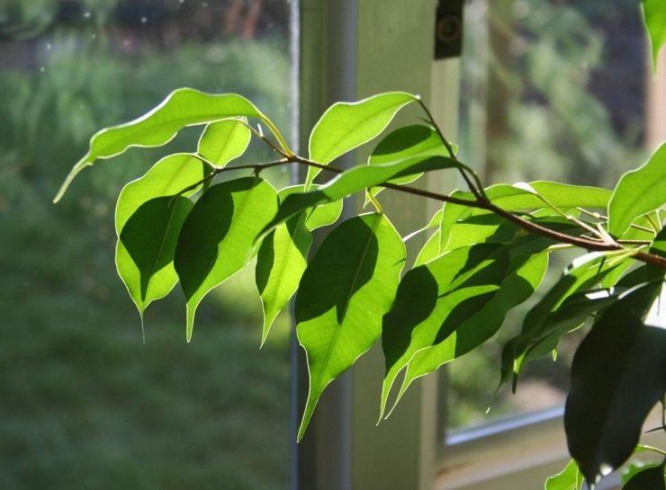 Сквозняки и резкие изменения температуры в комнате – это одна из распространенных причин сбрасывания листвы фикуса Бенджамина