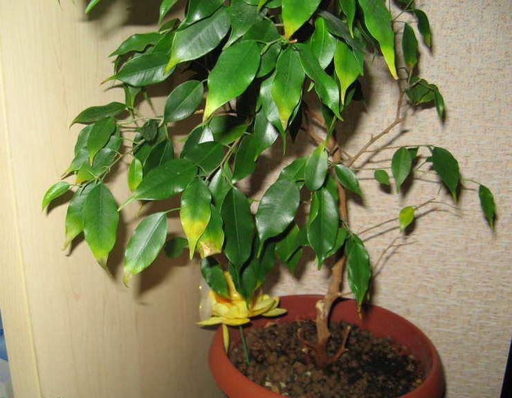 Если на фикусе опадают старые листья, а молодые растут очень мелкие, значит все дело в недостатке питания