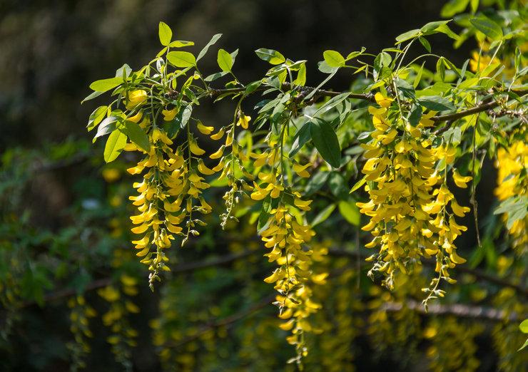 Бобовник или «Золотой дождь» – посадка и уход в открытом грунте. Выращивание бобовника в саду, способы размножения. Описание. Фото