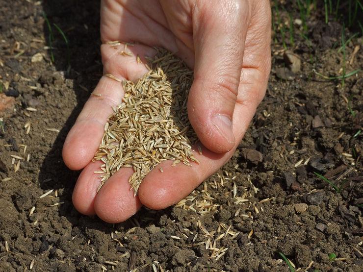 Посадка семян проводится ручным способом, при помощи сеялки или гидросеялки.