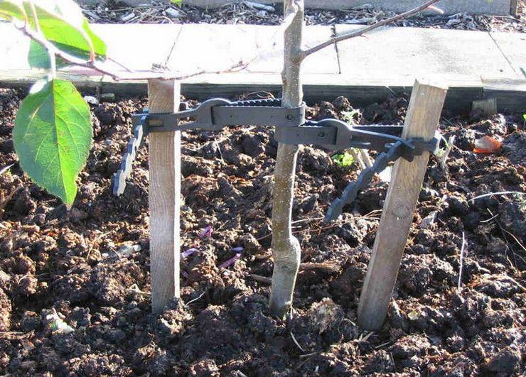 Прополка и рыхление грунта в прикорневой зоне проводится регулярно 3-4 раза в месяц, полив – 1 раз в неделю.