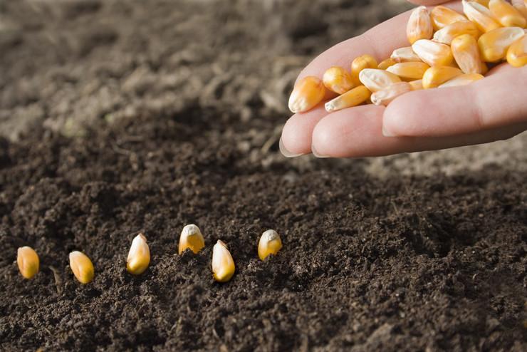Посадка семян кукурузы