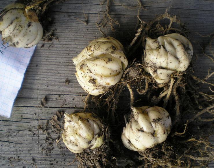 Основные требования к хранению луковиц