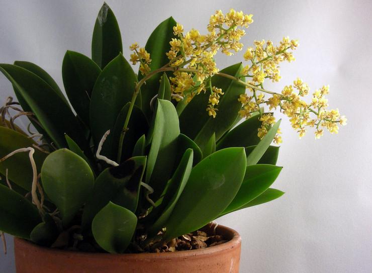 Онцидиум может прекрасно расти как при 40% влажности воздуха, так и при 70%