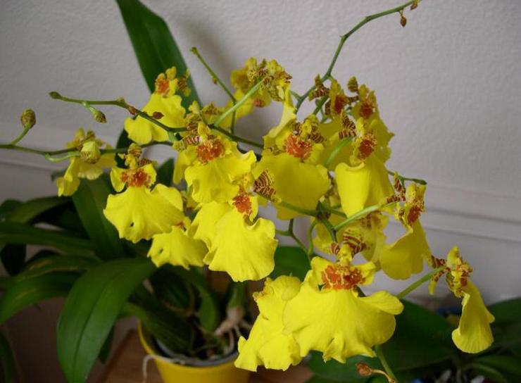 Орхидея онцидиум желтый уход в домашних условиях фото