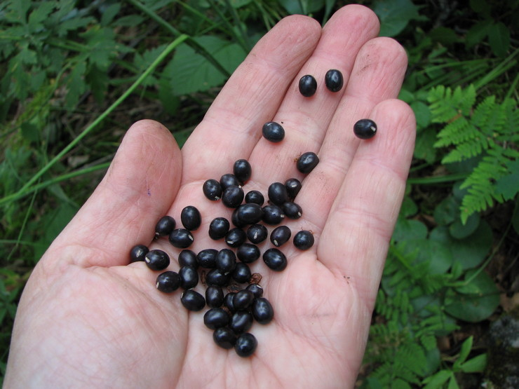 Особенности семян пионов